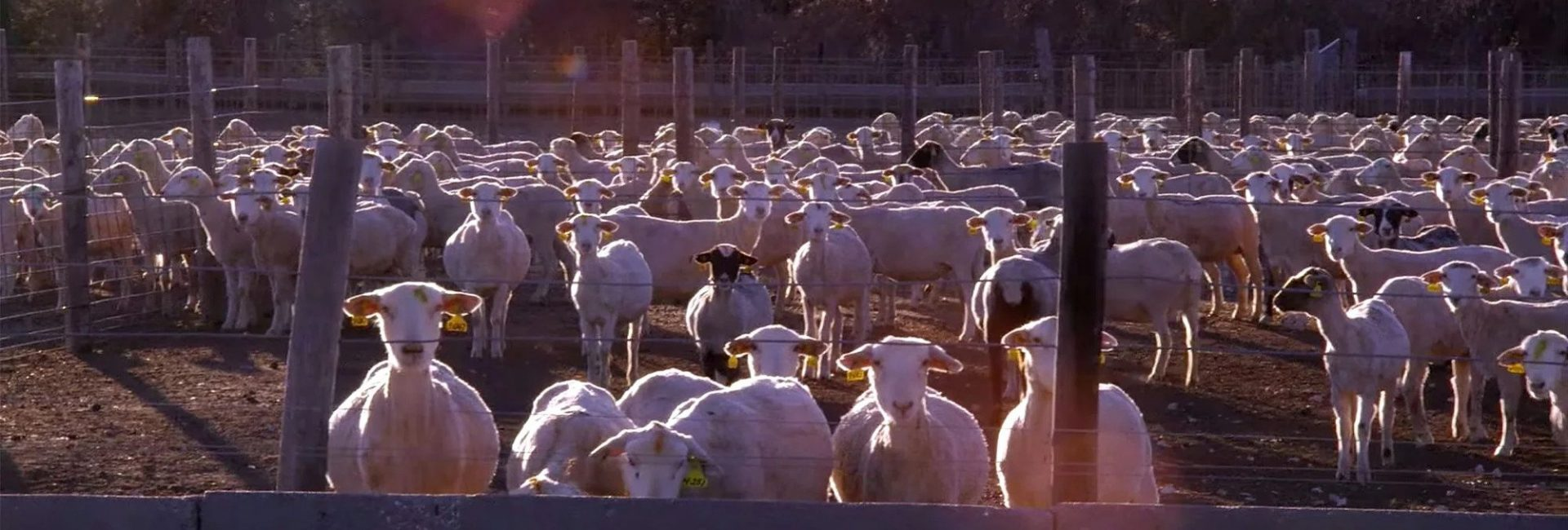 Eating Animals, factory farming and a global pandemic - Factual America